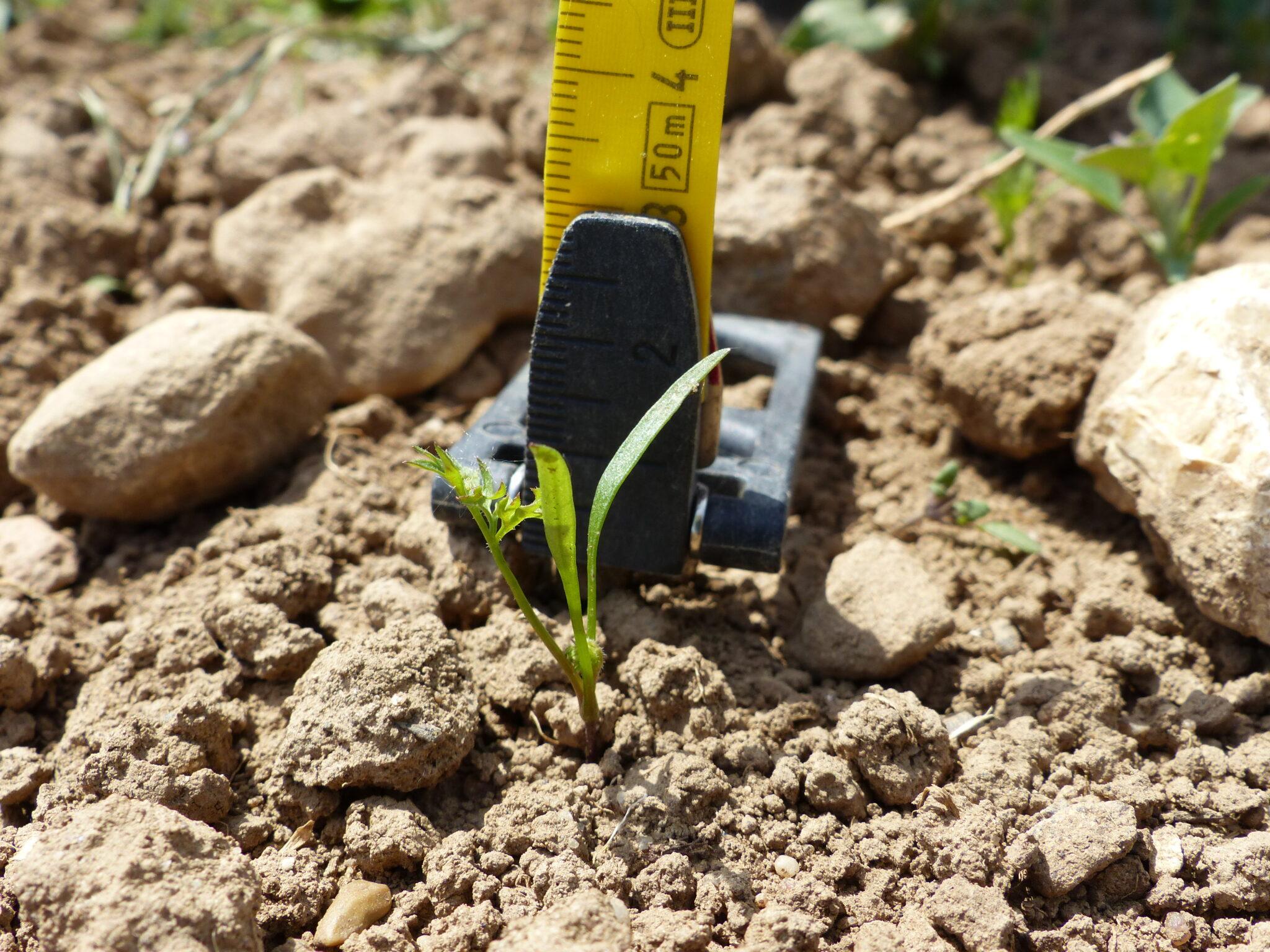 03.06.: Die ersten typischen Blätter wachsen