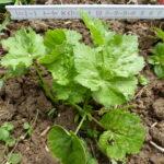 05.06.: Die Pflanze ist jetzt buschig und ca. 13cm breit