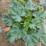 14.06.: Nach 8 Wochen ist die Pflanze 1m breit und trägt Früchte
