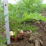 17.07.: Nun ist sie über 20 cm hoch, die Kareotte hat aber erst 1cm Durchmesser.