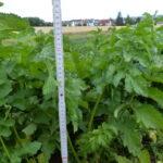 17.06.: Die Pflanze ist nun fast 60 cm hoch.
