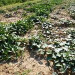 09.08.: Das Süßkartoffelfeld; Die Pflanzen ranken über den Boden und freuen sich über die Wärme