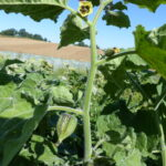 21.08.: Einige Blüten und erste grüne Hüllen sind erkennbar.