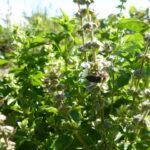 21.08.: Ein Bienchen bestäubt die Blüten des Basilikums