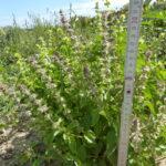 28.08.: Der Basilikumbusch ist über 30 cm hoch und vollständig in die Blüte gegangen.